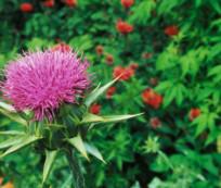 Silimarina: respuestas de este activo natural