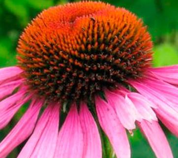 La Equinacea:Solución Natural para Gripe y Resfrios