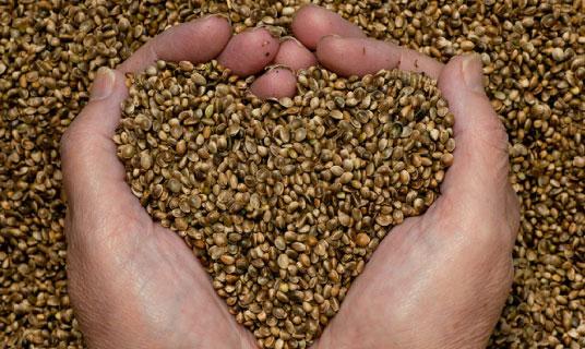 La semilla de cáñamo, usada para manufacturar la proteína de cáñamo, está compuesta aproximadamente de 45% de aceite, 35% de proteína y 10% de carbohidratos.